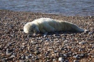 First seal pup at Blakeney Point